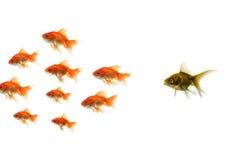 Goldfische, die heraus von der Masse stehen Stockfoto