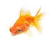 Goldfische getrennt auf weißem Hintergrund Stockbilder