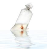Goldfische im Paket Lizenzfreies Stockbild