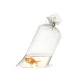 Goldfische im Plastikpaket Lizenzfreie Stockfotos