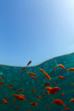 Goldfische im Roten Meer Stockbilder