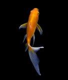 Goldfische lokalisiert auf Schwarzem Lizenzfreie Stockfotografie