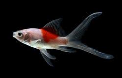 Goldfische lokalisiert auf schwarzem Hintergrund Lizenzfreies Stockfoto
