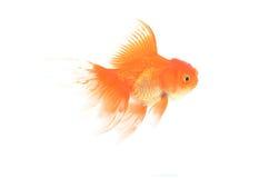 Goldfische lokalisiert auf Weiß Lizenzfreies Stockbild