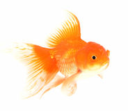 Goldfische lokalisiert auf Weiß lizenzfreie stockfotos
