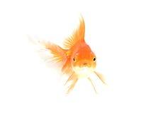 Goldfische lokalisiert auf Weiß Stockbilder