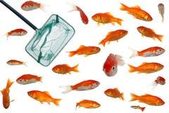 Goldfische und -netz Lizenzfreies Stockbild