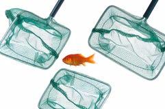 Goldfische und -netz Stockfotos