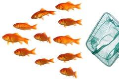 Goldfische und -netz Lizenzfreies Stockfoto