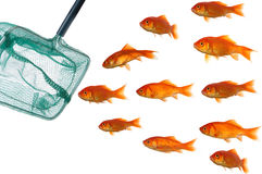 Goldfische und -netz Stockfotografie