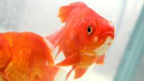 Goldfische, welche die Kamera betrachten Lizenzfreie Stockfotografie