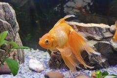 Goldfischschwimmen im Aquarium lizenzfreie stockfotos