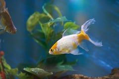 Goldfischschwimmen im blauen Wasser Lizenzfreie Stockfotografie
