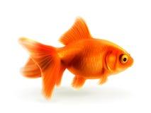 Goldfischvektorillustration Lizenzfreies Stockbild