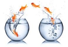 Goldfish - έννοια αλλαγής Στοκ Φωτογραφίες
