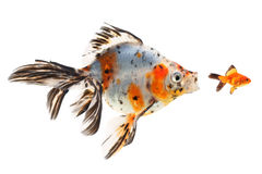 Goldfish, μεγάλα ψάρια που κυνηγά για τα μικρά ψάρια Στοκ φωτογραφία με δικαίωμα ελεύθερης χρήσης