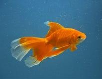 goldfish πορτοκάλι Στοκ φωτογραφίες με δικαίωμα ελεύθερης χρήσης