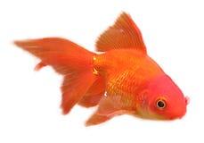 Goldfish που απομονώνεται σε ένα άσπρο υπόβαθρο Στοκ Εικόνες