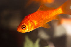 Goldfish που κολυμπά στη δεξαμενή ψαριών Στοκ Εικόνες