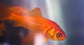 Goldfish που κολυμπά στη δεξαμενή ψαριών Στοκ φωτογραφίες με δικαίωμα ελεύθερης χρήσης