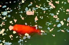 Goldfish που τρώει τα τρόφιμα στη λίμνη στοκ εικόνα