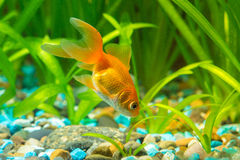 Goldfish στο έδαφος που ψάχνει τα τρόφιμα στο ενυδρείο Στοκ εικόνα με δικαίωμα ελεύθερης χρήσης