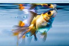 Goldfish στο εγχώριο ενυδρείο Στοκ φωτογραφία με δικαίωμα ελεύθερης χρήσης