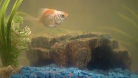 Goldfish στο ενυδρείο στο σπίτι Ταξινομητής, βράχος και εγκαταστάσεις ενυδρείων στο υπόβαθρο απόθεμα βίντεο