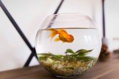 Goldfish στο ενυδρείο ψάρια στο εσωτερικό, ένα μικρό στρογγυλό ενυδρείο στοκ φωτογραφία