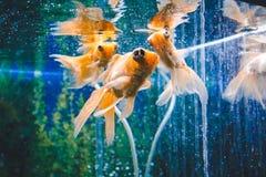 Goldfish στο ενυδρείο E Goldfish με μια άσπρη ουρά Θαυμάσιος και απίστευτος υποβρύχιος κόσμος με τα ψάρια στοκ φωτογραφίες με δικαίωμα ελεύθερης χρήσης