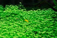 Goldfish στο ενυδρείο με τις πράσινες εγκαταστάσεις Στοκ εικόνα με δικαίωμα ελεύθερης χρήσης