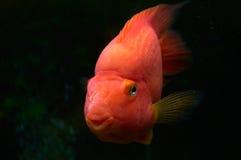 Goldfish στο ενυδρείο Στοκ εικόνες με δικαίωμα ελεύθερης χρήσης
