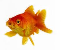 Goldfish στο λευκό Στοκ Εικόνα