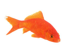 Goldfish στο στούντιο στοκ εικόνες