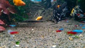 Goldfish στο του γλυκού νερού ενυδρείο απόθεμα βίντεο
