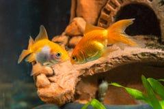 Goldfish δύο στη σπηλιά υποβάθρου στο ενυδρείο Στοκ φωτογραφίες με δικαίωμα ελεύθερης χρήσης