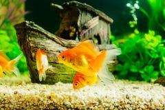 goldfish аквариума говорит что что-то хочет Стоковые Фото