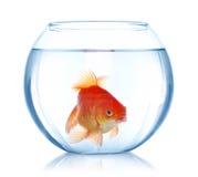 goldfish аквариума говорит что что-то хочет Стоковое фото RF