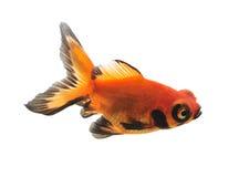 Goldfish изолированный на белой предпосылке Стоковая Фотография
