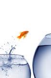 goldfish скача вне вода стоковые фотографии rf