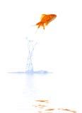goldfish скачет Стоковые Фотографии RF