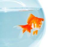 goldfish шара Стоковые Изображения RF