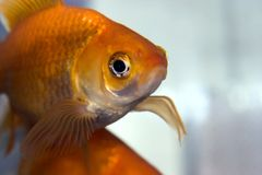 Goldfish Fotografie Stock