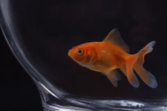Goldfish 11. A closeup of a goldfish in a bowl against a black background royalty free stock photography
