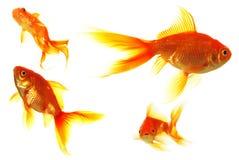 goldfish Obrazy Stock