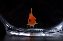 Goldfish 12. A closeup of a goldfish in a bowl against a black background royalty free stock photos