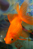 Goldfish Fotos de Stock Royalty Free