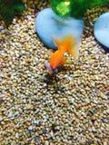 Goldfish stockfotos