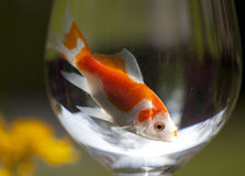 Goldfish Royalty Free Stock Photo