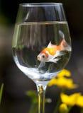 goldfish Zdjęcie Stock